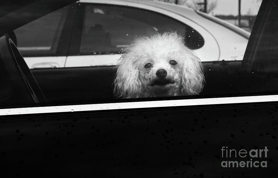 Poodle In A Car Photograph