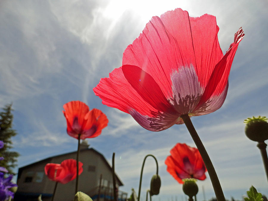 Poppies Photograph - Poppies And Sky by Robert Meyers-Lussier