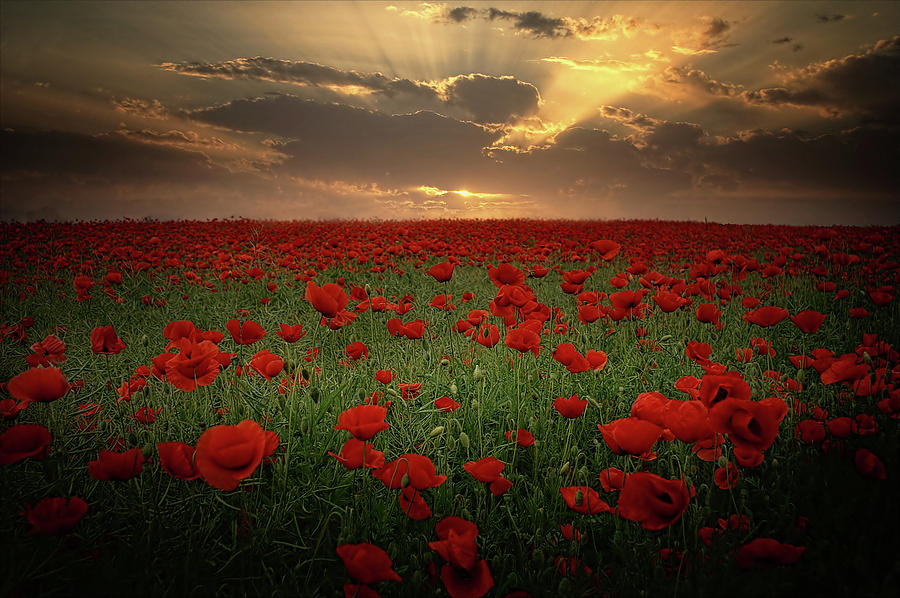 Poppies At Sunset Photograph