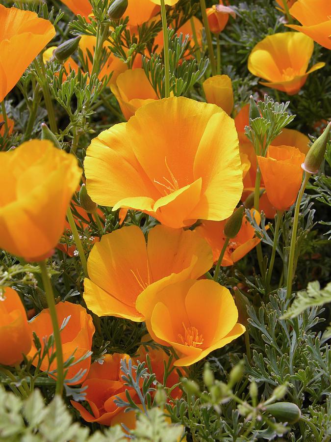 Poppies (eschscholzia Californica) Photograph