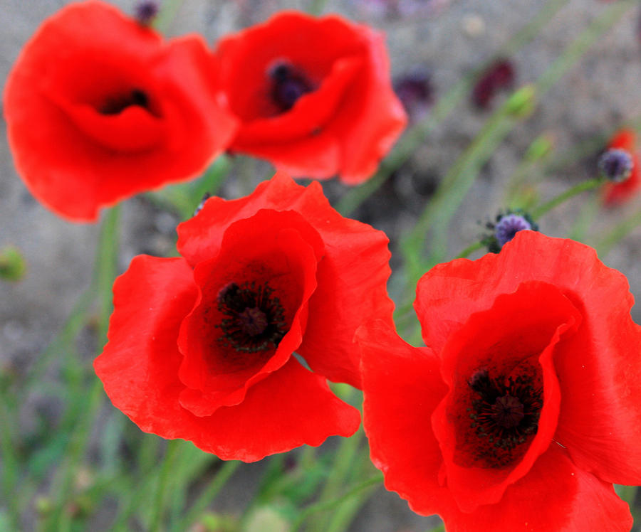 Poppies Of Stone Photograph