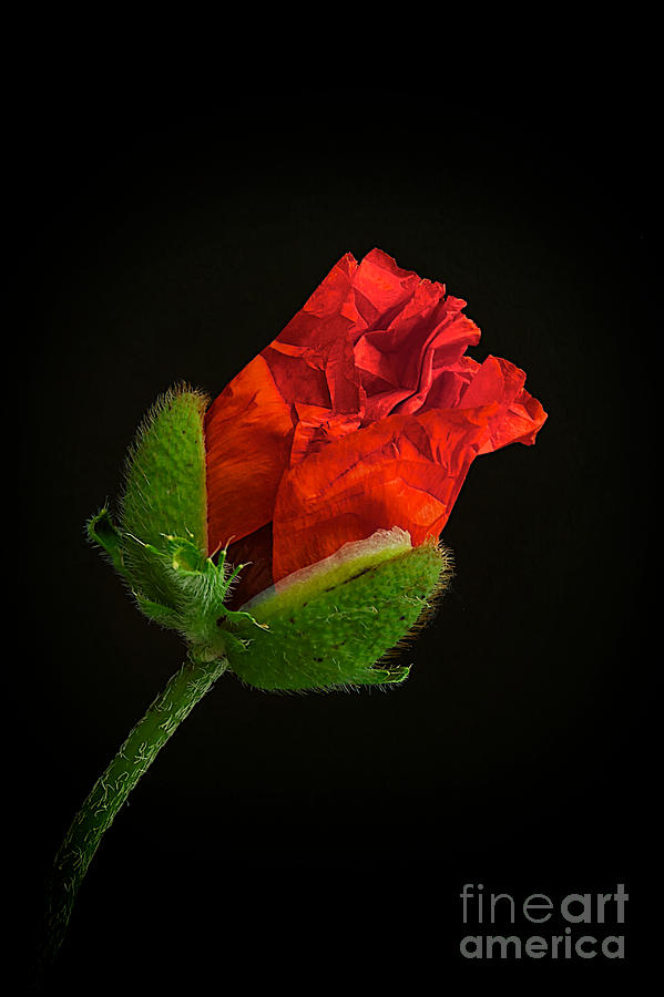 Poppy Bud Photograph