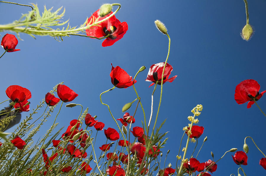 Poppy Field Photograph