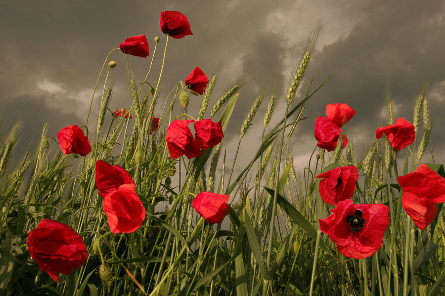 Poppy Field Before The Storm Photograph