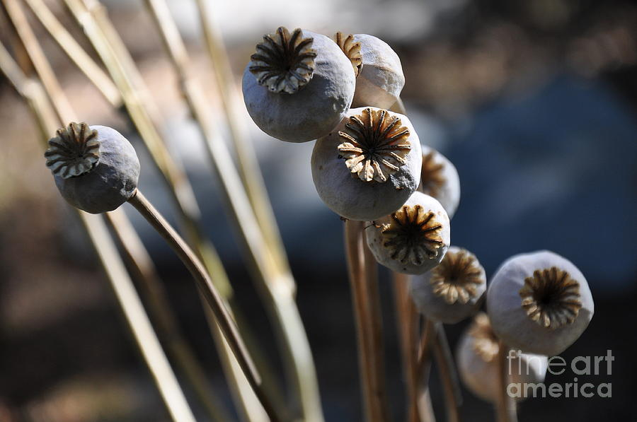 Poppy Seed Pods  2 Photograph  - Poppy Seed Pods  2 Fine Art Print