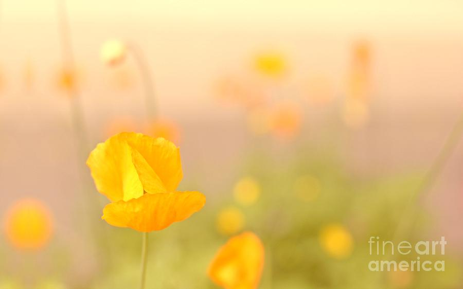 Poppy Summerfeeling Photograph  - Poppy Summerfeeling Fine Art Print