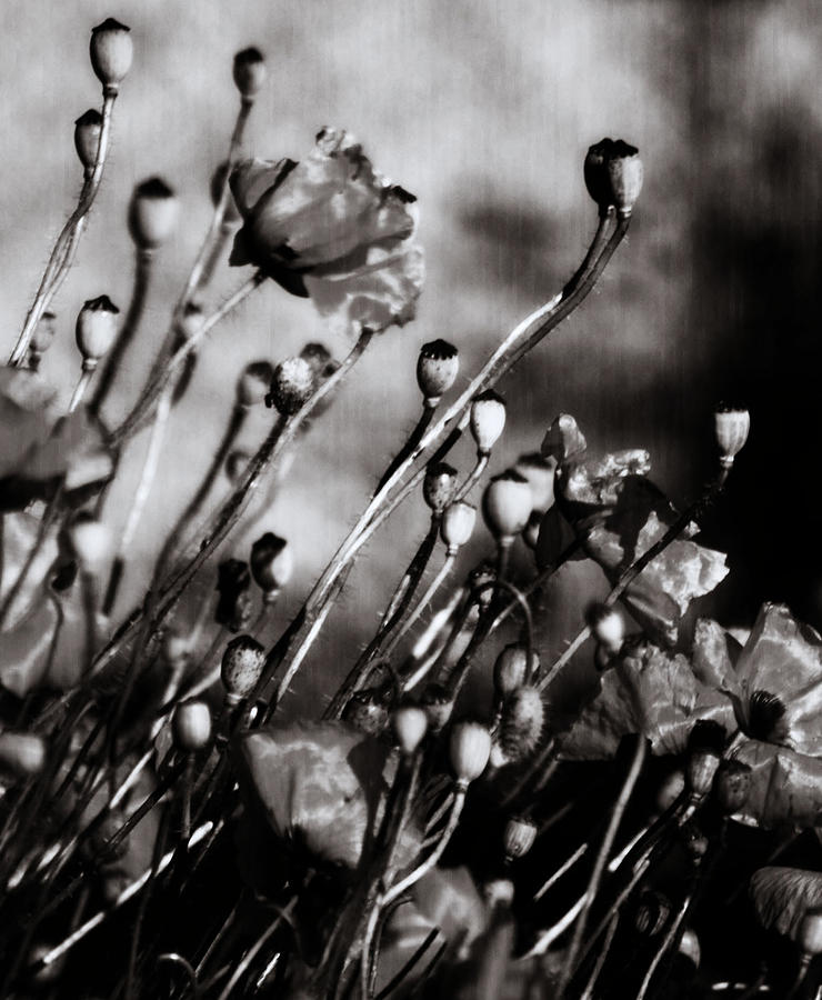 Poppy To Grey Photograph  - Poppy To Grey Fine Art Print