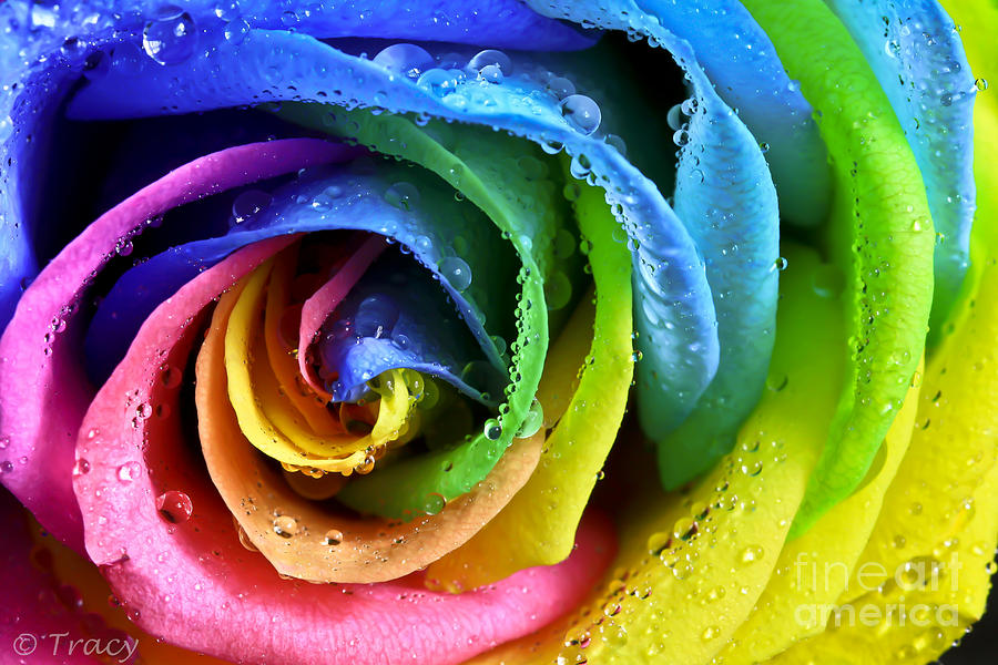 Rose Photograph - Popsicle Rose by Tracy  Hall
