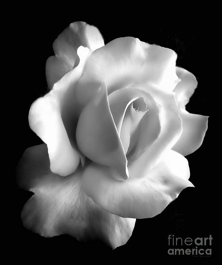 Porcelain Rose Flower Black And White Photograph  - Porcelain Rose Flower Black And White Fine Art Print