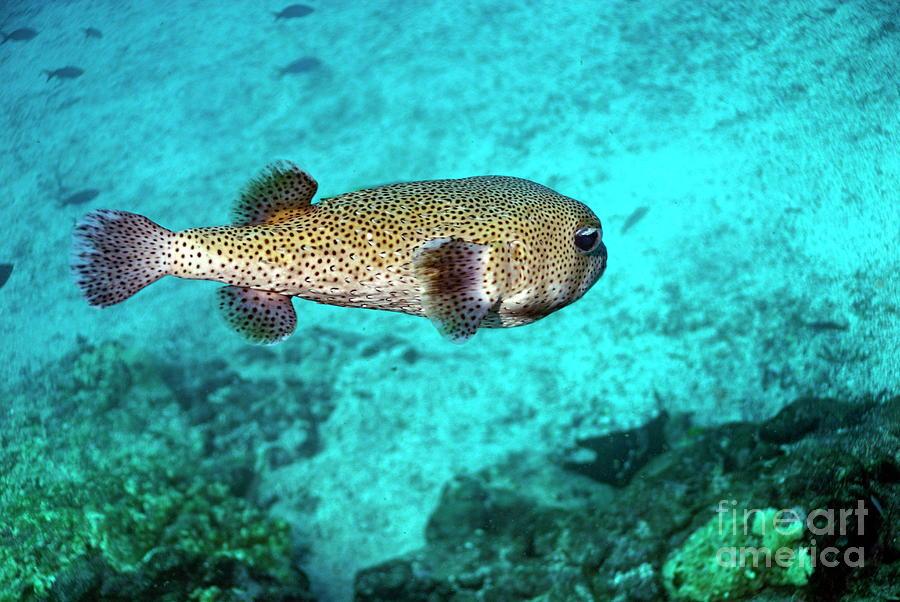 Nature Photograph - Porcupine Fish by Sami Sarkis