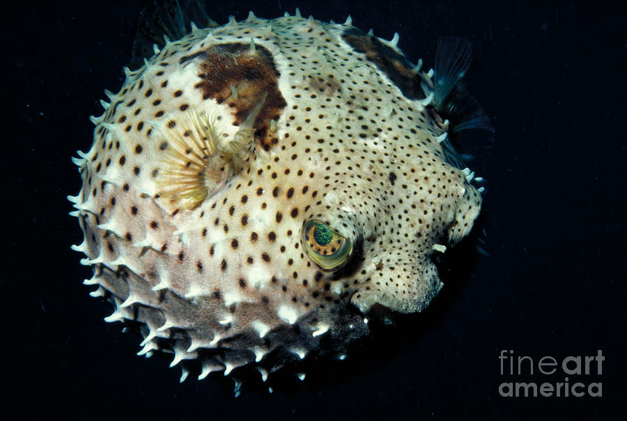Porcupinefish Photograph