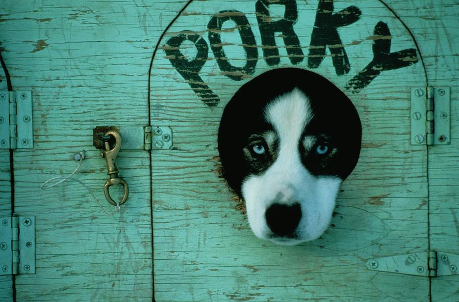 North America Photograph - Porky Is One Of Jan Masseks Race Dogs by Chris Johns