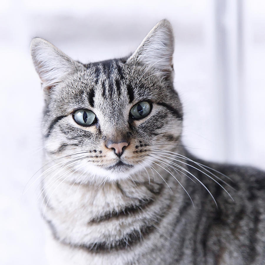 Portrait Gray Tabby Cat Photograph  - Portrait Gray Tabby Cat Fine Art Print