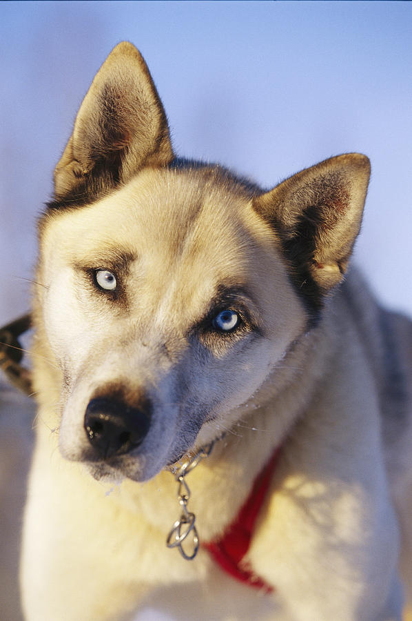 Portrait Of A Blue-eyed Husky Photograph  - Portrait Of A Blue-eyed Husky Fine Art Print