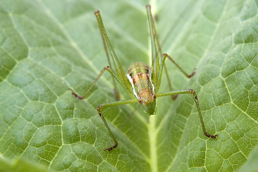Macro Stock Photography Of A Cricket On A Sunflower Plant Leaf Photograph - Portrait Of A  Cricket  by Cliff  Norton