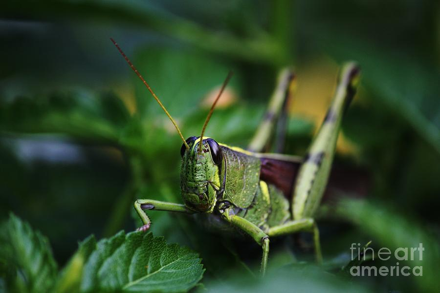 Portrait Of A Grasshopper Photograph  - Portrait Of A Grasshopper Fine Art Print