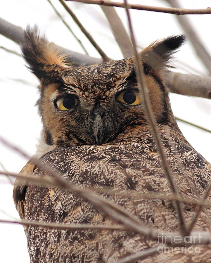 Portrait Of A Great Horned Owl Photograph