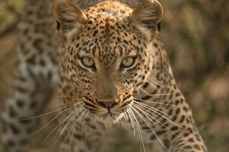 Portrait Of A Leopard, Panthera Pardus Photograph by Beverly Joubert
