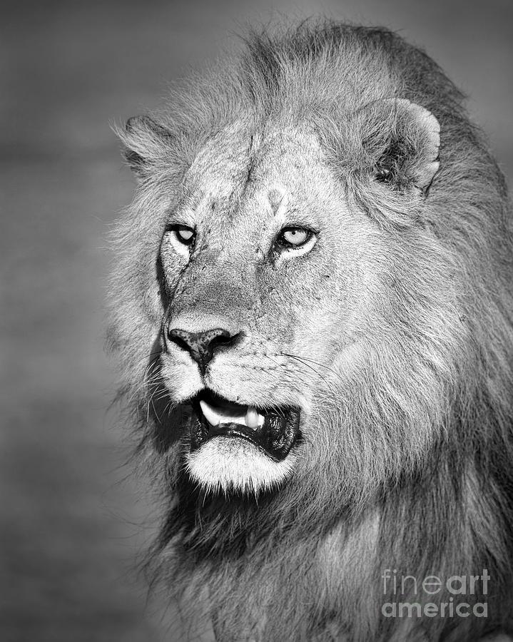 Portrait Of A Lion Photograph