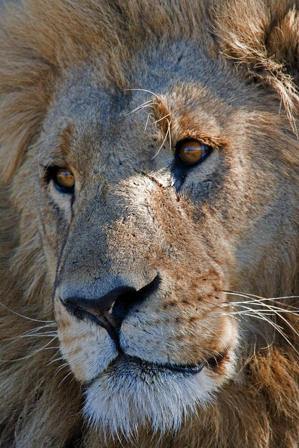 Portrait Of A Male African Lion Photograph
