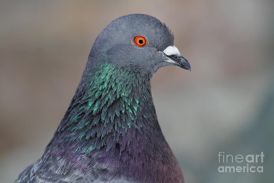 Portrait Of A Pigeon . 7d12327 Photograph  - Portrait Of A Pigeon . 7d12327 Fine Art Print