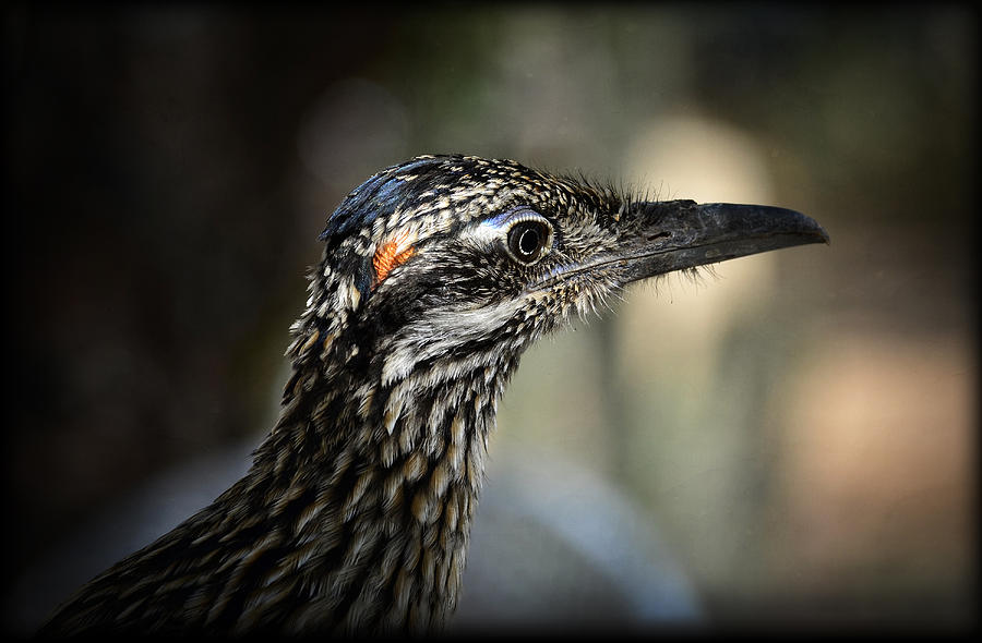 Portrait Of A Roadrunner  Photograph  - Portrait Of A Roadrunner  Fine Art Print
