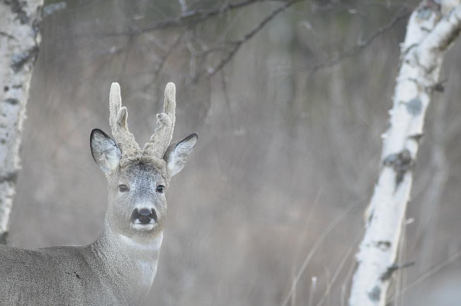 Portrait Of A Roe Buck Photograph