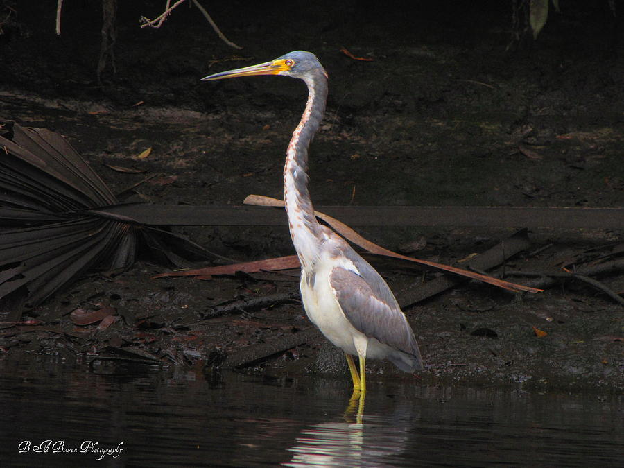 Portrait Of A Tri-colored Heron Photograph