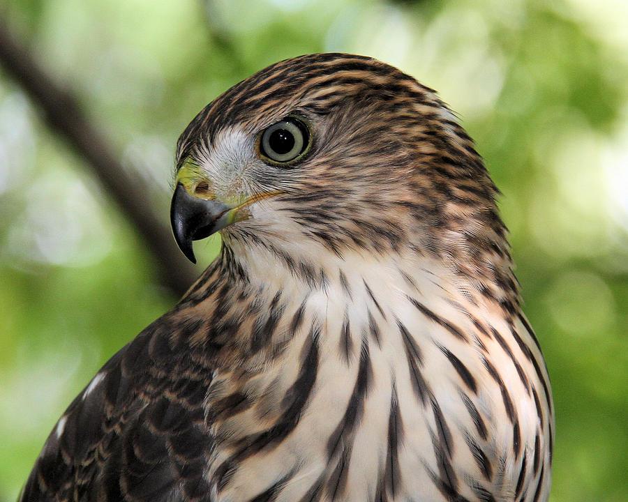 Portrait of a young cooper s hawk by doris potter