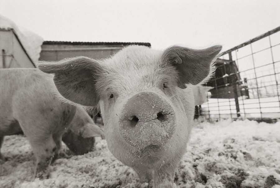 Portrait Of A Young Pig. Property Photograph  - Portrait Of A Young Pig. Property Fine Art Print