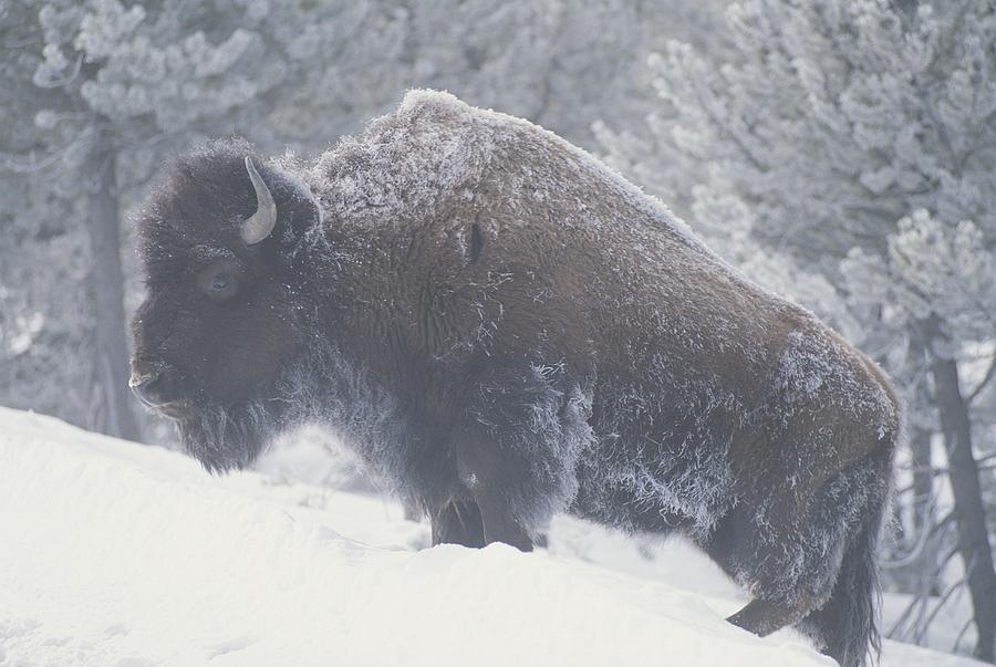 Portrait Of An American Bison Photograph