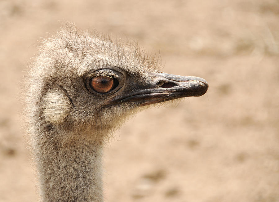 Ostrich Photograph - Portrait Of An  Ostrich by Laura Melis