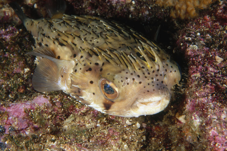 Porupinefish Close-up Portrait Sleeping Photograph