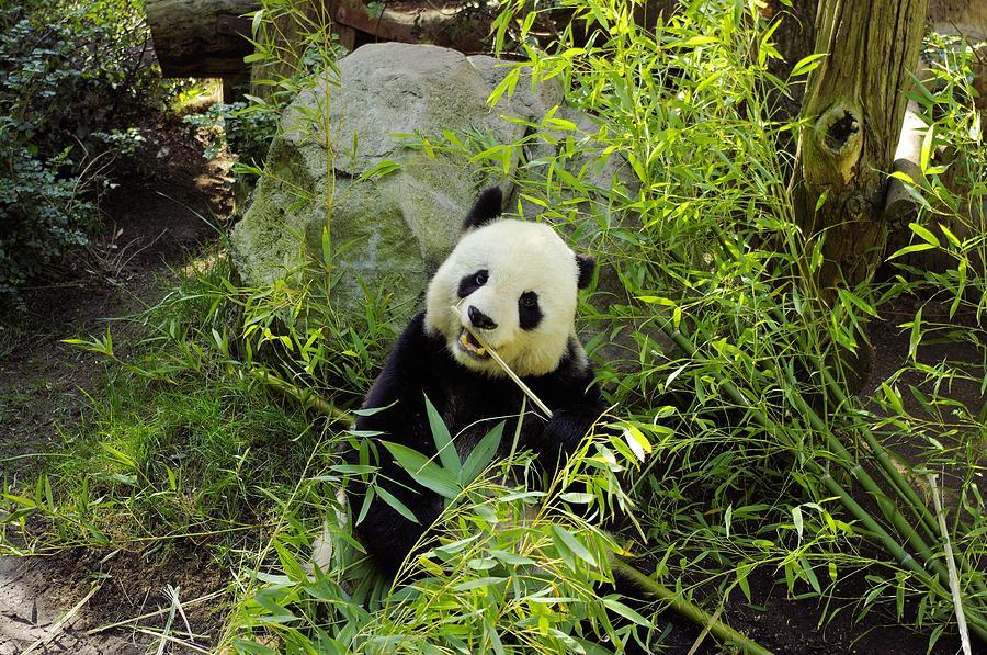 Panda Photograph - Posing Panda by John  Greaves