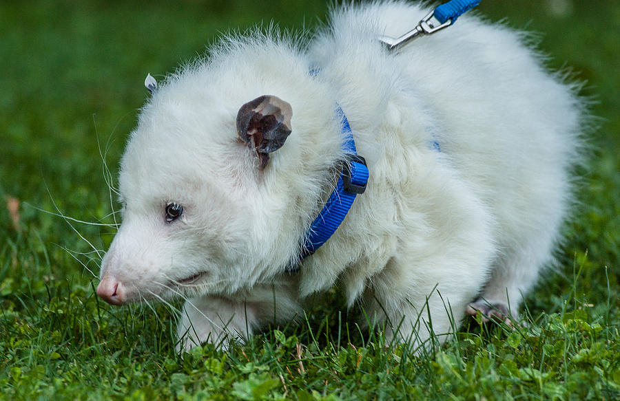 Possum On Leash Photograph by Greg Nyquist