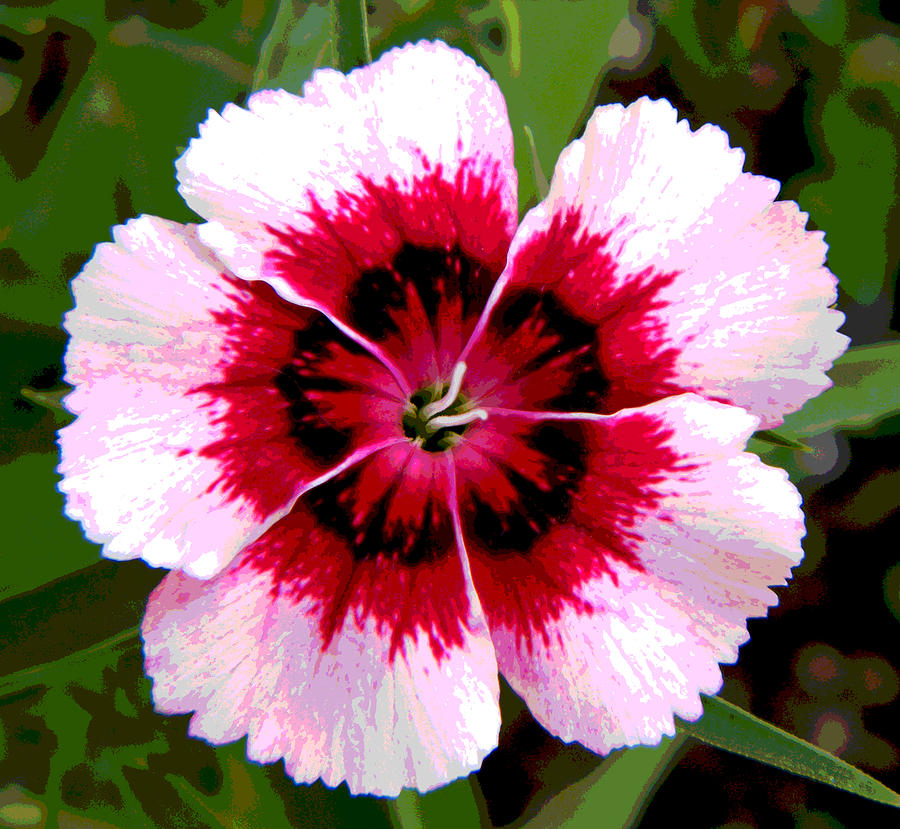 Posterized pink and red dianthus flower photograph by mary sedivy