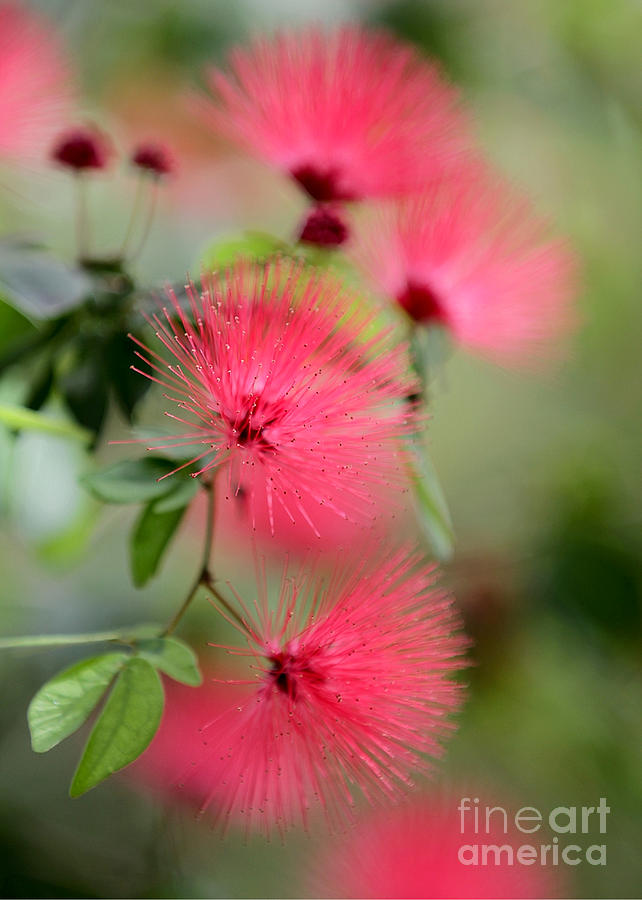 Powder Puff Flowers Photograph  - Powder Puff Flowers Fine Art Print