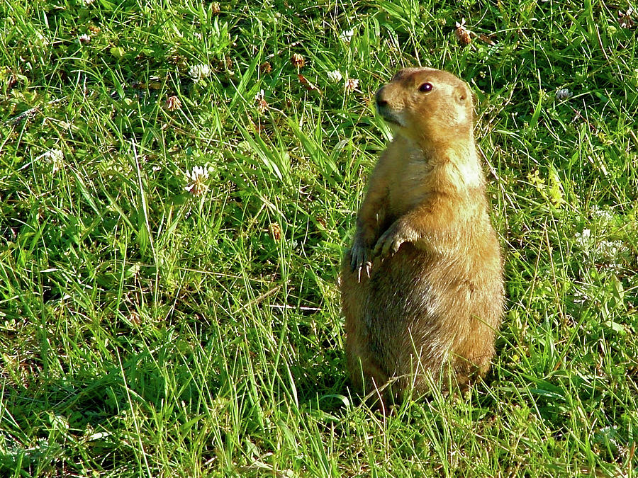 Prairie Dog Near Wildlife Loop Road In Custer State Park Sd Photograph  - Prairie Dog Near Wildlife Loop Road In Custer State Park Sd Fine Art Print