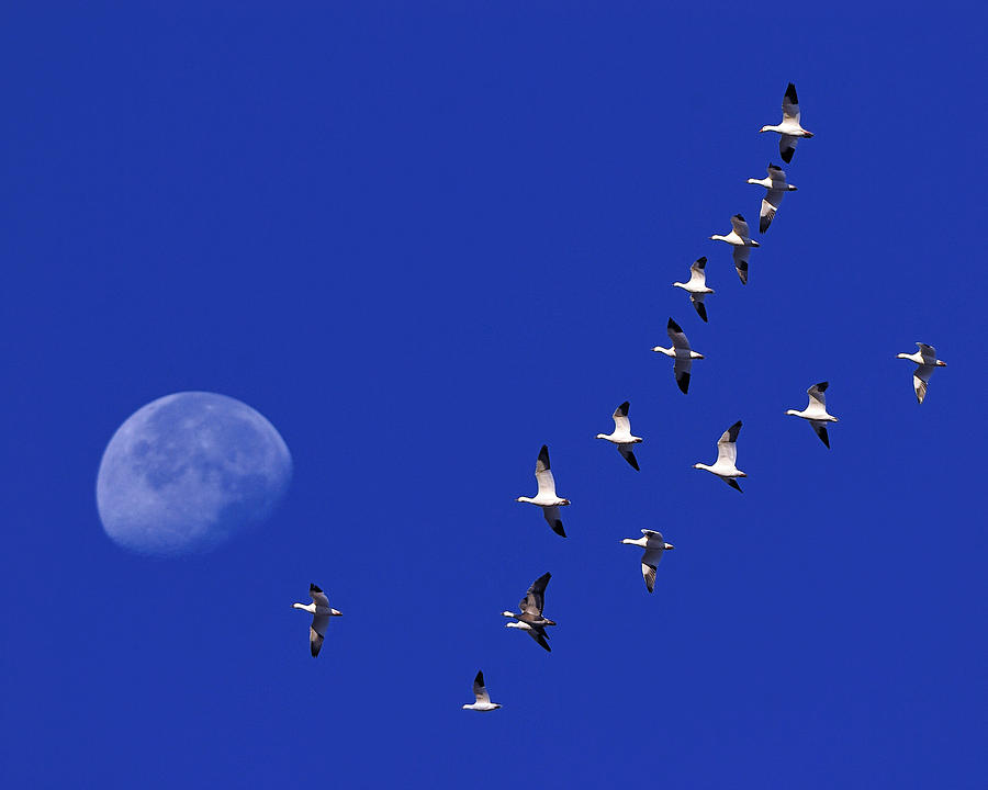 Snow Goose Photograph - Prairie Migration by Tony Beck