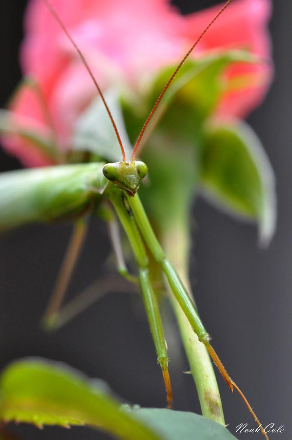 Praying Mantis 3 Photograph  - Praying Mantis 3 Fine Art Print