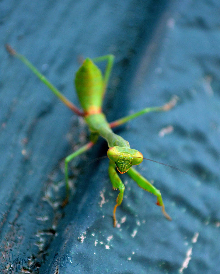 praying mantis cassandra dawes