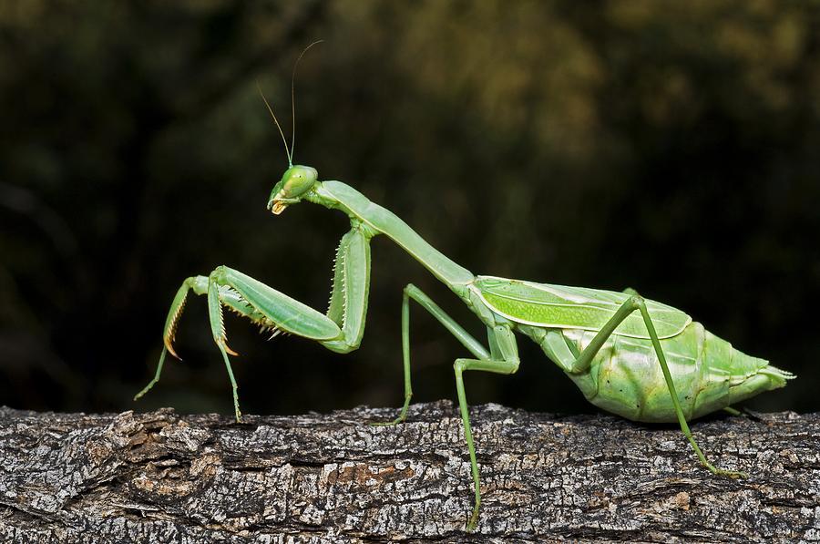 Thida's Blog, Mic's Blog: Praying Mantis
