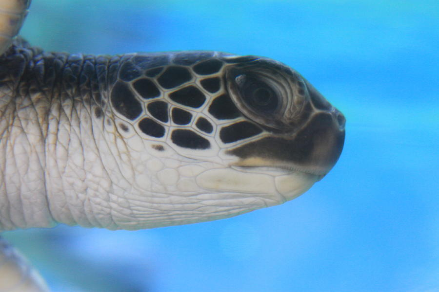 Precious Honu Sea Turtle Photograph
