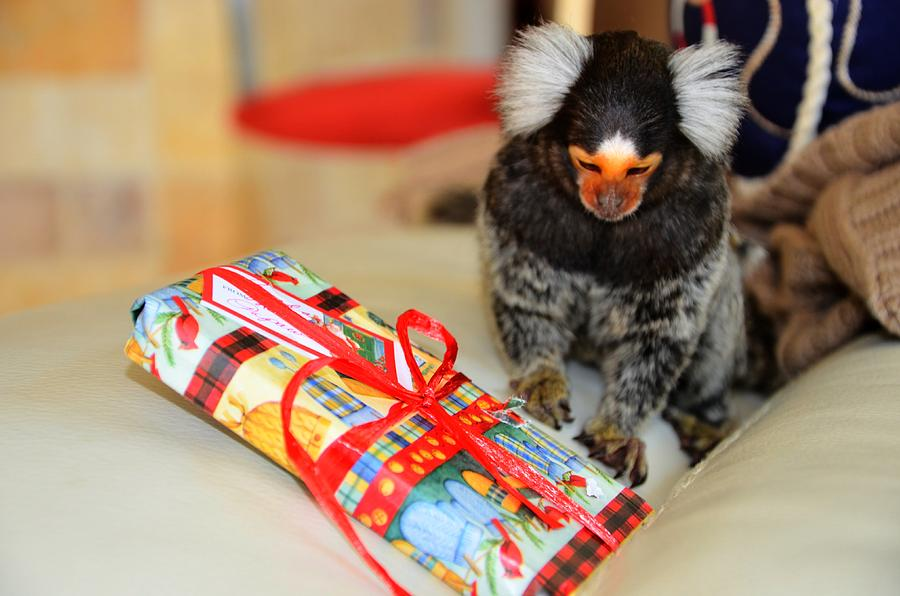 Present Time Chewy The Marmoset Digital Art  - Present Time Chewy The Marmoset Fine Art Print
