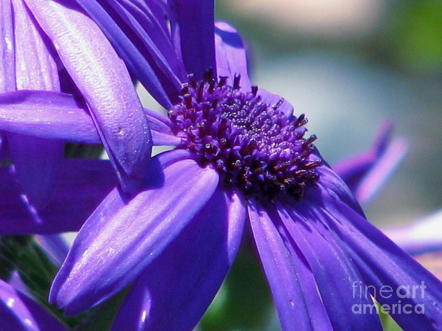 Pretty In Pericallis Photograph