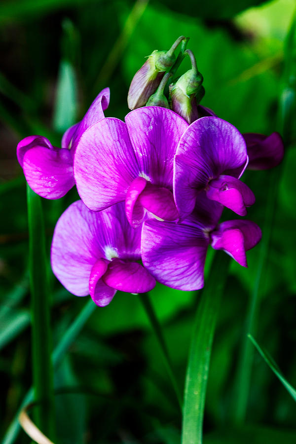 Pretty In Pink Wild Orchids Photograph