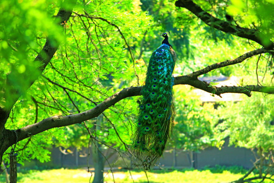 Pretty Perching Peacock Photograph By Cathy Leite Photography