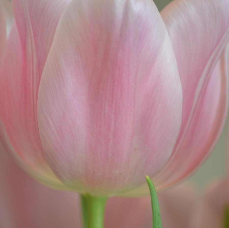 Pretty Pink Tulip Flower Photograph  - Pretty Pink Tulip Flower Fine Art Print