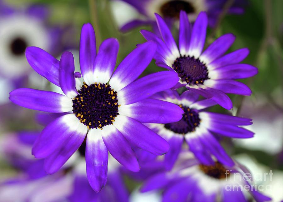 Pretty Purple Daisies Photograph  - Pretty Purple Daisies Fine Art Print