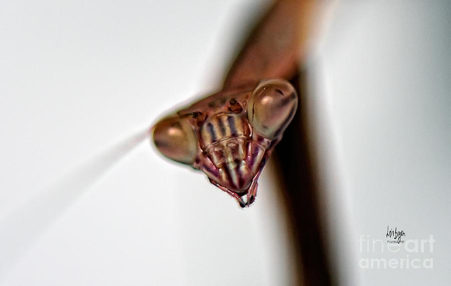 Mantis Photograph - Preying by Lois Bryan